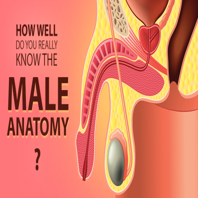 QUIZ: How well do you really know the male anatomy?